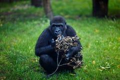 Schimpanse isst einen trockenen Zweig Lizenzfreie Stockfotografie