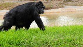 Schimpanse-Lächeln Lizenzfreies Stockfoto