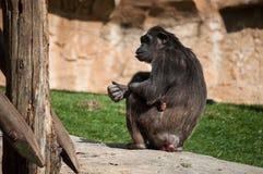 Schimpanse in Lissabon-Zoo Lizenzfreie Stockfotografie