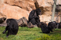 Schimpanse in Lissabon-Zoo Stockbilder