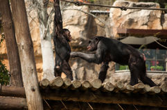 Schimpanse in Lissabon-Zoo Stockfotos