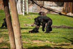 Schimpanse in Lissabon-Zoo Stockfotografie