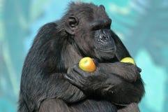 Schimpanse mit Äpfeln. stockbilder