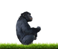 Schimpanse mit dem grünen Gras lokalisiert Lizenzfreie Stockfotografie