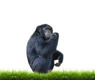 Schimpanse mit dem grünen Gras lokalisiert Stockfotografie