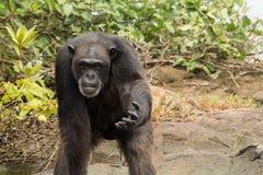 Schimpanse mit der Hand verlängert Lizenzfreies Stockbild