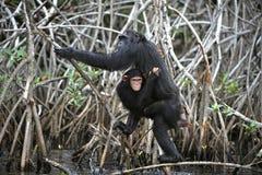 Schimpanse mit einem Jungen. Stockfoto