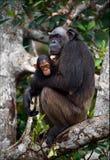 Schimpanse mit einem Jungen auf Mangrovezweigen. Lizenzfreies Stockbild