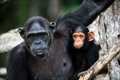 Schimpanse mit einem Jungen auf Mangrovezweigen. Lizenzfreies Stockfoto