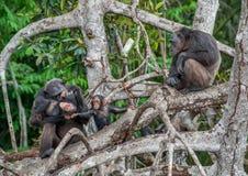 Schimpanse mit einem Jungen auf Mangrovezweigen Stockfoto