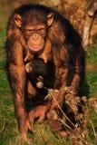 Schimpanse mit einem Kind auf ihrem Bauch Stockfotos