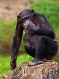 Schimpanse mit einem Schätzchen auf ihrem Bauch Stockbilder