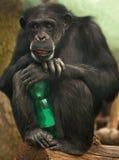 Schimpanse mit einer Flasche Lizenzfreies Stockbild
