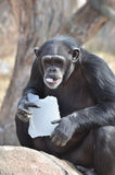 Schimpanse mit Eis 8 Stockfotos