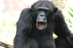 Schimpanse mit seinen Mund-offenen Herstellungsgeräuschen Lizenzfreie Stockbilder