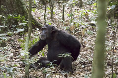 Schimpanse in Nationalpark Kibale, Uganda Lizenzfreie Stockfotos