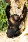 Schimpanse in nightsafari chiangmai Thailand Lizenzfreie Stockfotos
