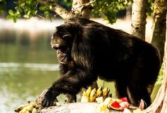 Schimpanse in nightsafari chiangmai Thailand Stockbild