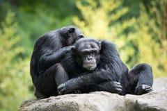 Schimpanse-Paare II Lizenzfreies Stockfoto