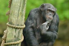 Schimpanse-Porträt Lizenzfreies Stockfoto