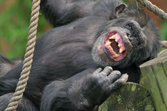 Schimpanse-Portrait Stockfotos