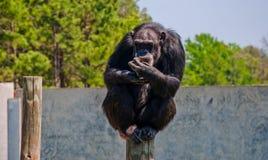 Schimpanse-Primas, der auf einem hohen Pfosten hält Lebensmittel sitzt Stockbild