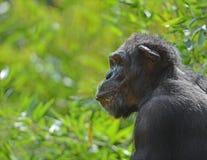 Schimpanse in Profil stockbild