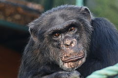Schimpanse ` s traurige Starren lizenzfreie stockfotos