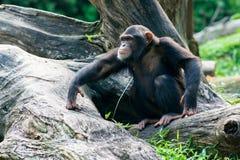 Schimpanse sitzt auf einer Niederlassung Lizenzfreies Stockbild