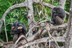 Schimpanse u. x28; Pan-troglodytes& x29; mit einem Jungen auf Mangrovenniederlassungen Stockfotos