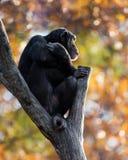 Schimpanse XXI Stockbilder