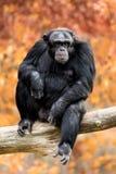 Schimpanse XXII Lizenzfreie Stockfotos