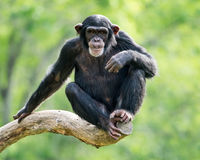 Schimpanse XXVI Stockfotografie