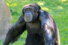 Schimpanse am Zoo Stockbild
