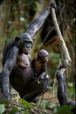 SchimpanseBonobo mit einem Jungen. Stockfotos