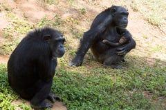 Schimpansefamilie Stockbild