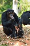 Schimpansefamilie Stockfotografie