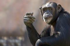Schimpansegestikulieren Lizenzfreie Stockfotos