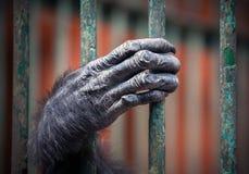 Schimpansehand mit den haarigen Fingern Lizenzfreies Stockfoto