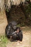 Schimpansemutter und ihr Baby Lizenzfreie Stockfotos