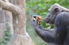 Schimpansen äter bröd 2 royaltyfri bild