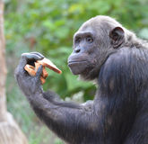 Schimpansen äter bröd 4 arkivbild