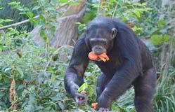 Schimpansen äter veggies 3 royaltyfri foto