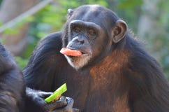 Schimpansen äter veggies Arkivfoton