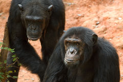 Schimpansen Lizenzfreie Stockfotografie