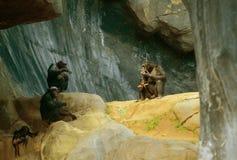 schimpansen Stockfoto