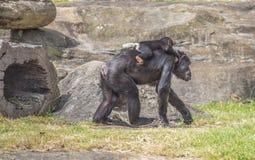 schimpansen Stockbild