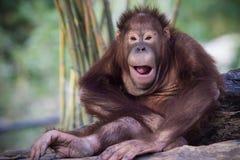 schimpansen Stockfotografie