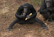 Schimpansen aus den Grund Stockfotos
