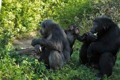Schimpansen behandla som ett barn Arkivfoton
